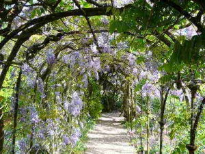 Wisteria in National Trust's Greys Court gardens