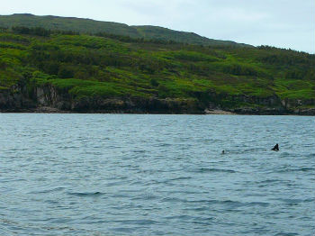 Can you spot the basking shark?
