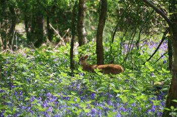 Deer in bluebells at Ashridge
