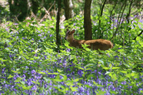 Deer in Bluebell wood near Ashridge estate