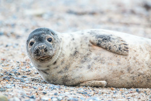 Beautiful grey seal