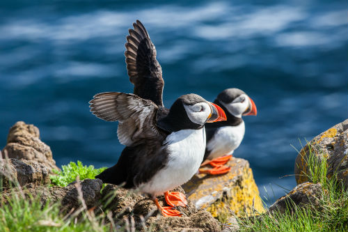 Beautiful puffins