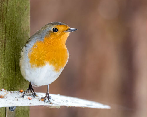 Robin, a common sight in British gardens