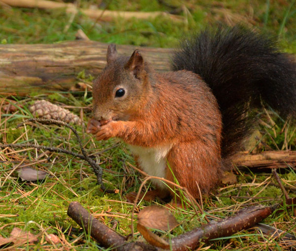 red squirrel aviemore